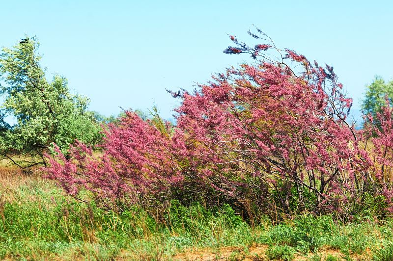 Tamaryszek francuski - opis, sadzenie, uprawa, pielęgnacja, porady 2