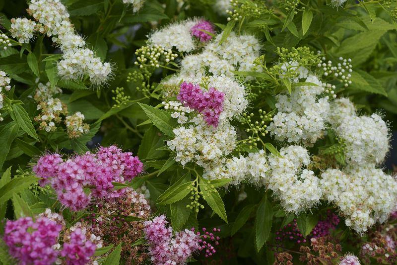 Tawuła brzozolistna - cena, uprawa i pielęgnacja w ogrodzie 2