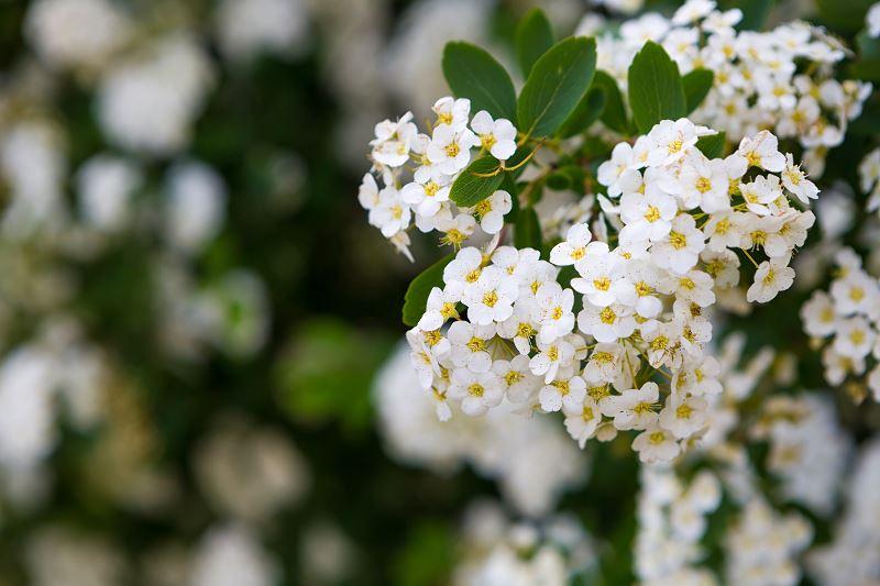 Tawuła wczesna (Spiraea arguta) - uprawa, pielęgnacja, przycinanie, rozmnażanie 2
