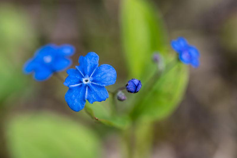 Ułudka wiosenna - sadzenie, pielęgnacja, uprawa, wymagania 2
