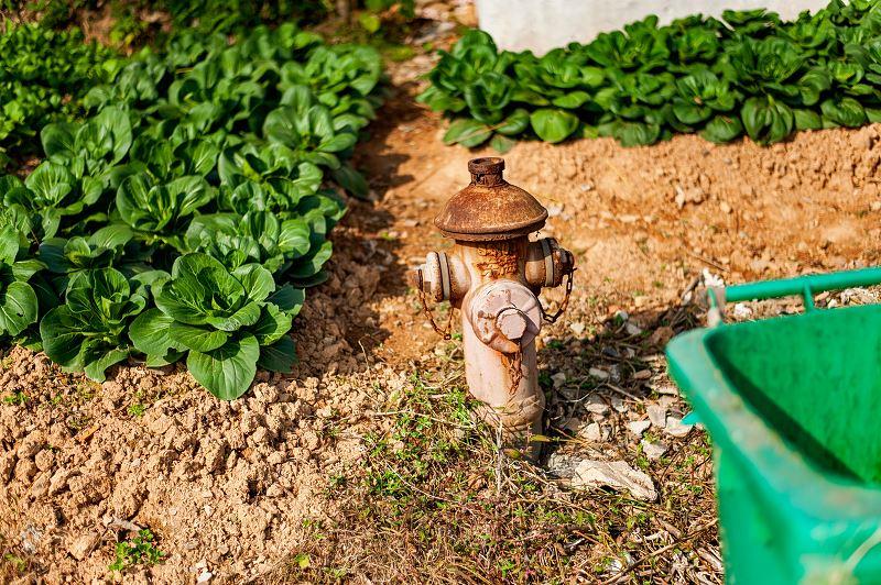 Pak Choi (kapusta chińska) – uprawa w ogrodzie, zastosowanie w kuchni 2