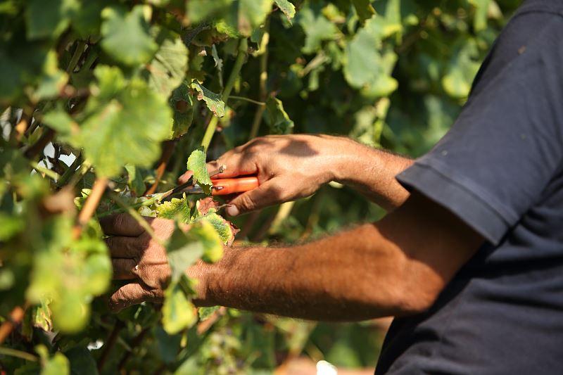 Uprawa i cięcie winogron - porady praktyczne 2