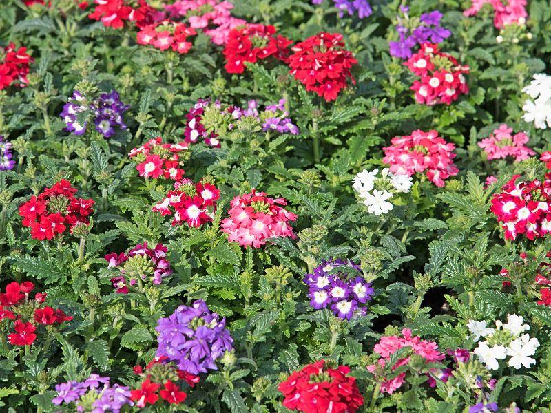 Werbena zwisająca - sadzenie, uprawa, pielęgnacja, wymagania 2