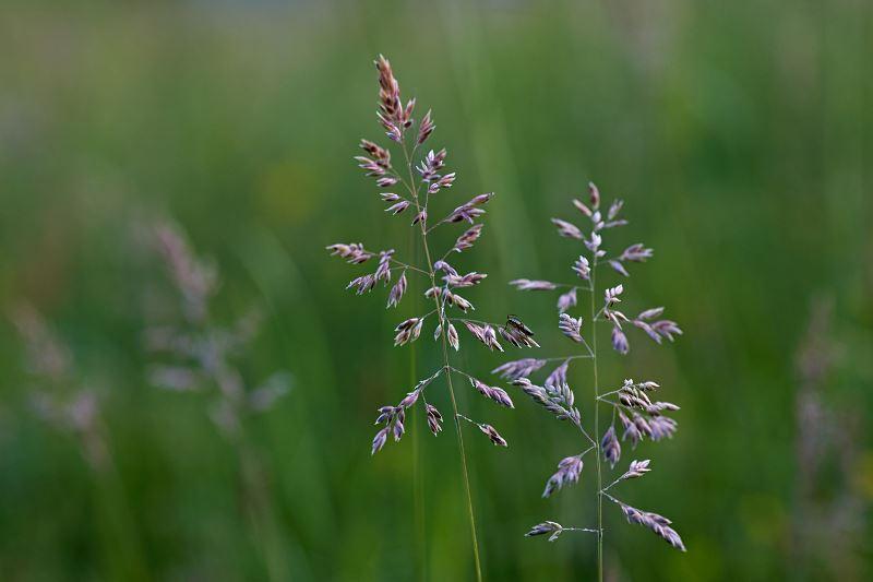Wiechlina łąkowa - popularna trawa - opis, cena, sianie, pielęgnacja 2