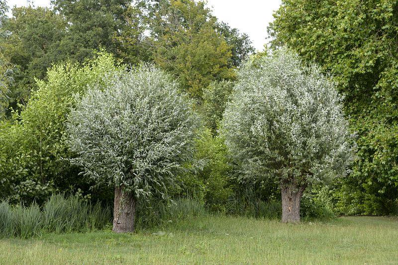Wierzba biała w ogrodzie - sadzenie, uprawa, pielęgnacja, porady 2