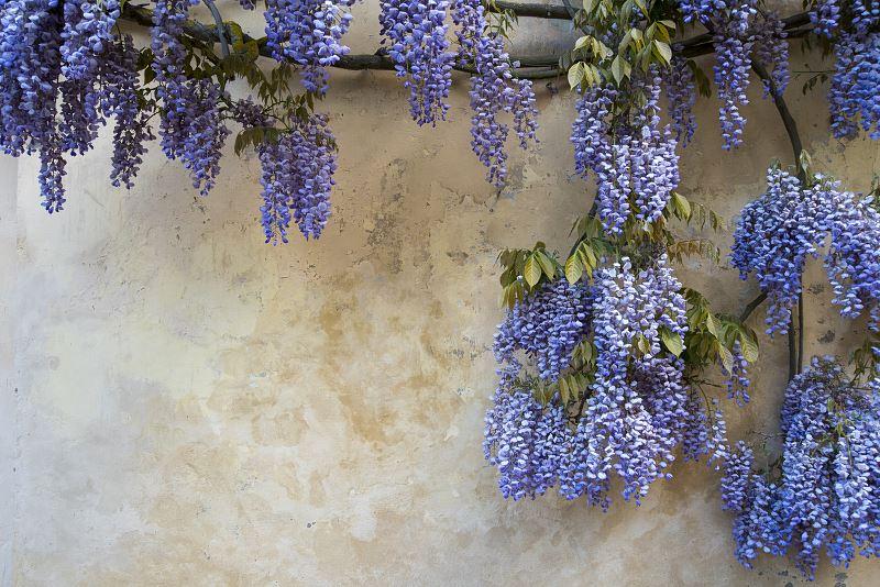 Wisteria (glicynia) – sadzenie, hodowla i pielęgnacja pięknego pnącza w ogrodzie 2