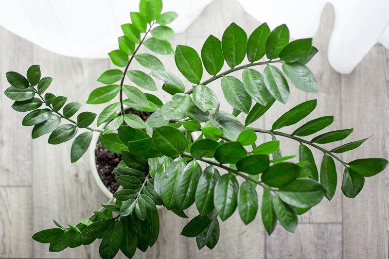 Zamiokulkas zamiolistny - porady ogrodnicze 2