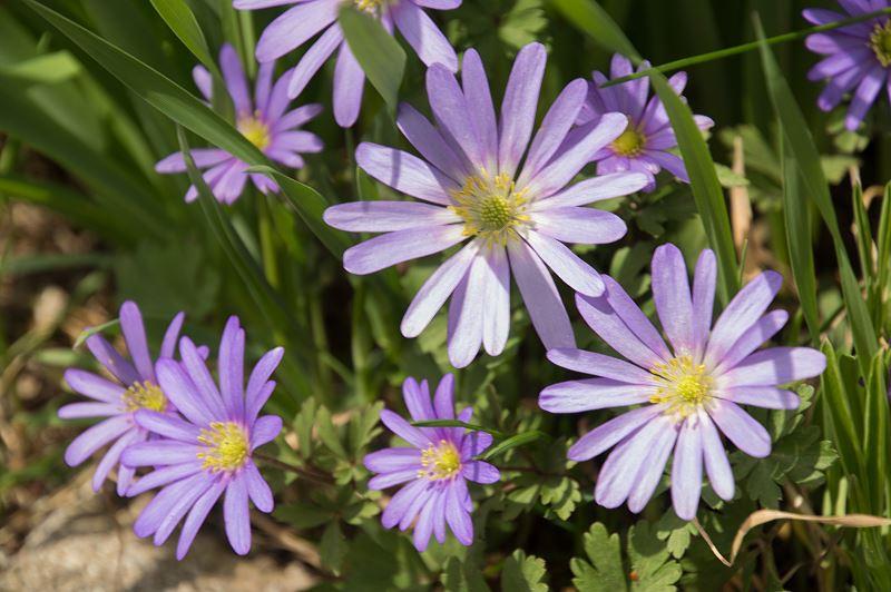 Zawilec grecki - sadzenie, uprawa, pielęgnacja, porady 2