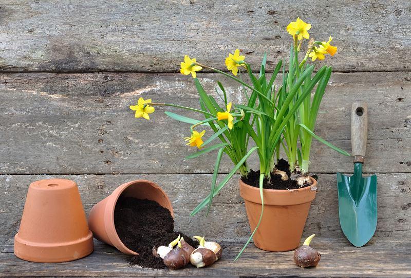 Żonkil (narcyz żonkil) – sadzenie, uprawa, pielęgnacja 2
