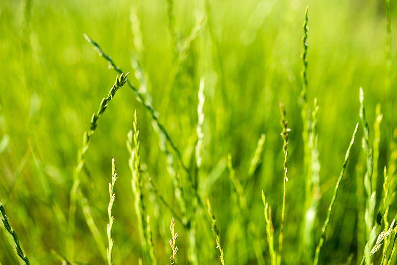 Życica trwała (rajgras angielski) - opis gatunku trawy, odmiany, wysiew, pielęgnacja 2