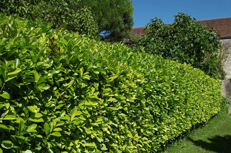Rośliny na żywopłot szybko rosnący - przegląd najlepszych krzewów 3