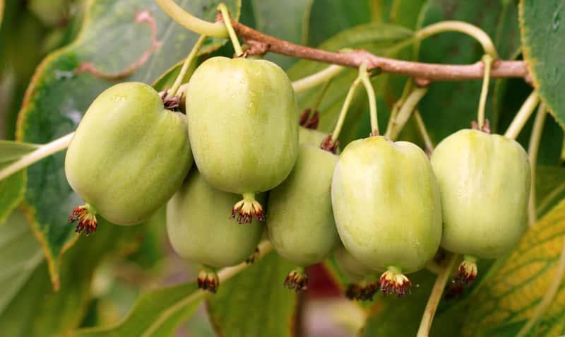 Agrest chiński (Aktinidia chińska) – uprawa, pielęgnacja, pochodzenie