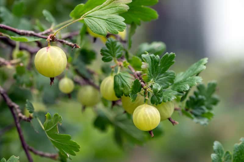 Owoce agrestu a krzewie