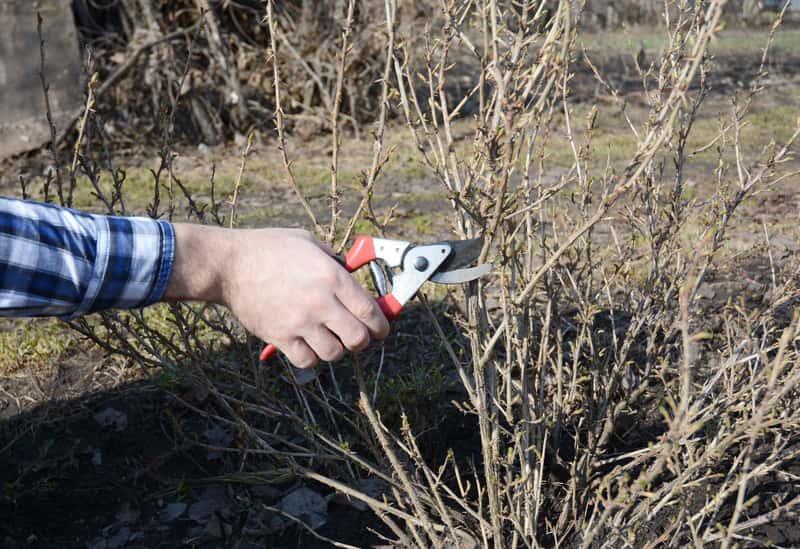 Krzew agrestu podczas przycinania