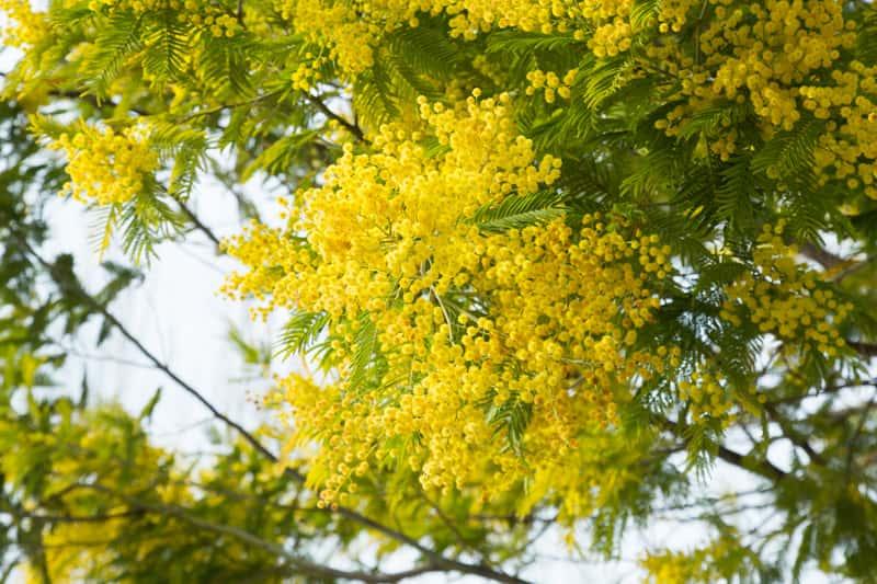 Akacja srebrzysta (mimoza) - opis, wysiew, uprawa, pielęgnacja, porady praktyczne