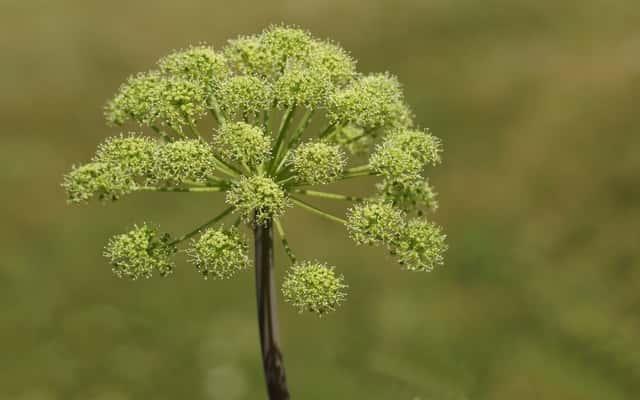 Arcydzięgiel litwor - zastosowanie, właściwości, uprawa, wykorzystanie korzenia