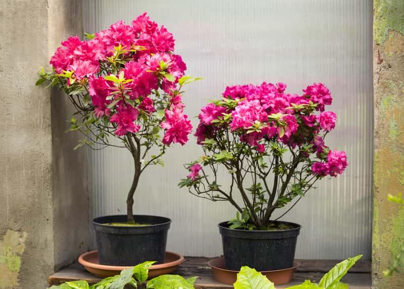 Azalia doniczkowa w okresie kwitnienia