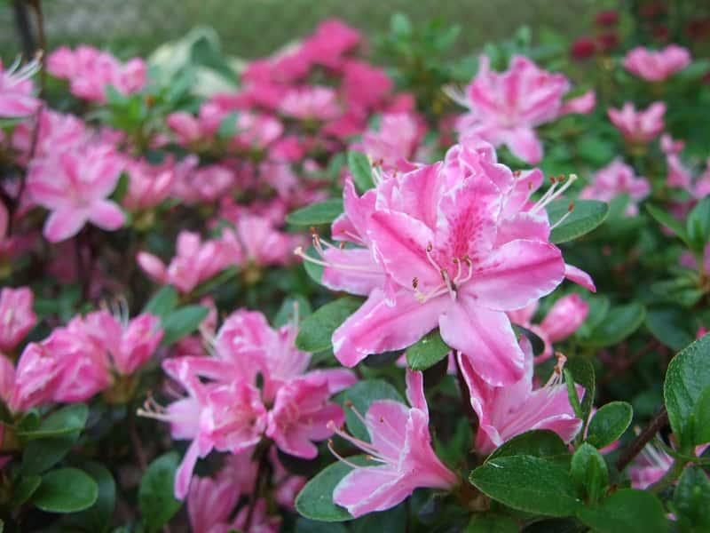 Azalia japońska w okresie kwitnienia