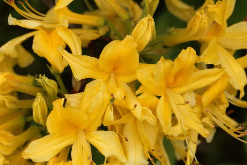 Azalia pontyjska w czasie kwitnienia