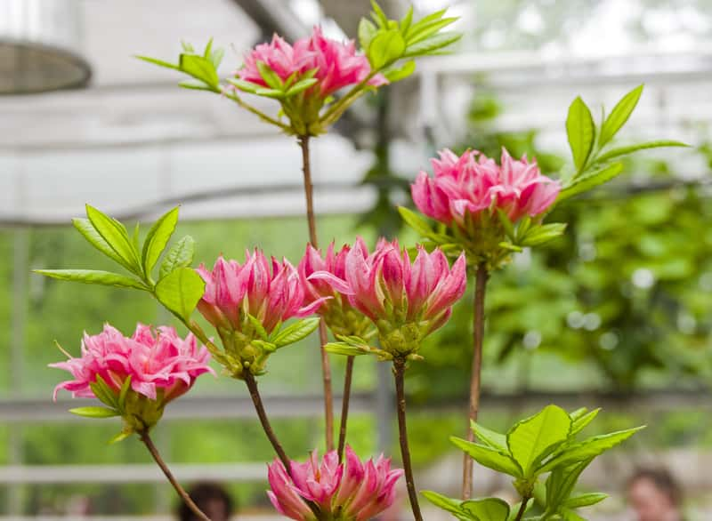 Azalia wielkokwiatowa w ogrodzie