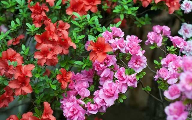 Azalia - ogrodowa, japońska, wielkokwiatowa i inne odmiany - porady dla każdego