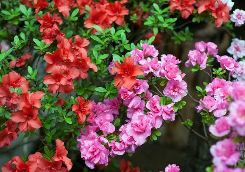 Sprawdź jak dbać o azalie w domu i ogrodzie