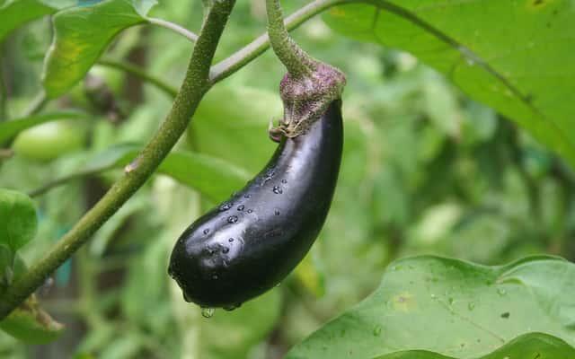 Bakłażan (oberżyna, psianka podłużna) - uprawa w przydomowym ogrodzie krok po kroku