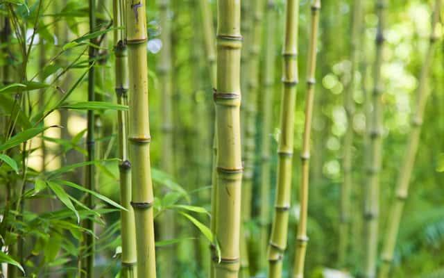 Bambus ogrodowy - odmiany, uprawa, hodowla, wymagania