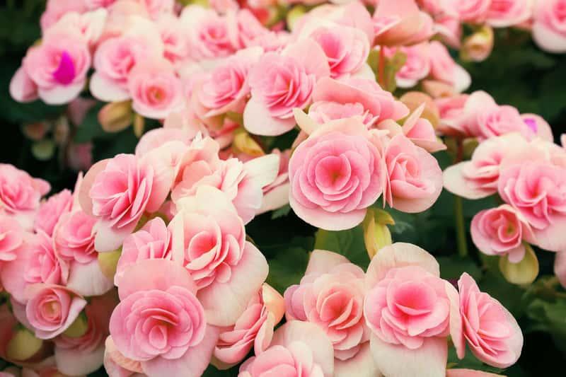 Różowa begonia bulwiasta wielkokwiatowa