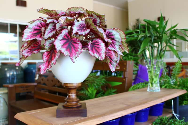Begonia królewska w doniczce