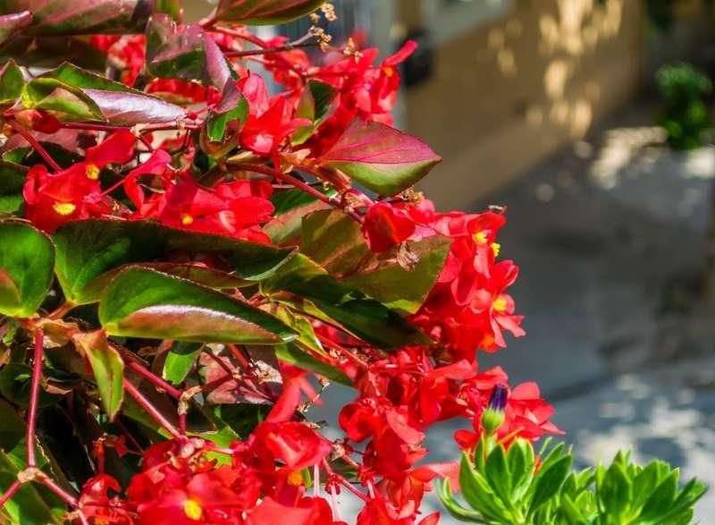 Begonia stale kwitnąca w ogrodzie