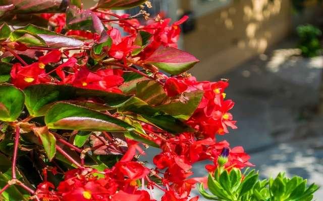 Begonia stale kwitnąca - uprawa, pielęgnacja, rozmnażanie, odmiany