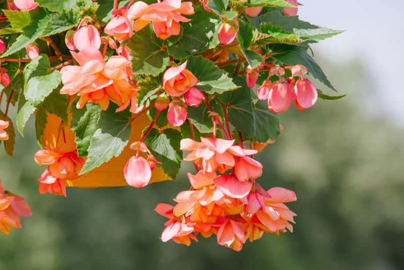 Begonia zwisająca w okresie kwitnienia. Odpowiedź na pytanie, kiedy i jak sadzić begonię oraz jak wygląda jej uprawa i pielęgnacja nie są trudne.