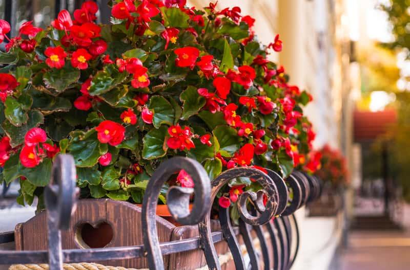 Begonia zwisająca w czasie kwitnienia to doskonały sposób na udekorowanie balko i jako roślina na taras. Jej pielęgnaja nie nalezy do najtrudniejszych.