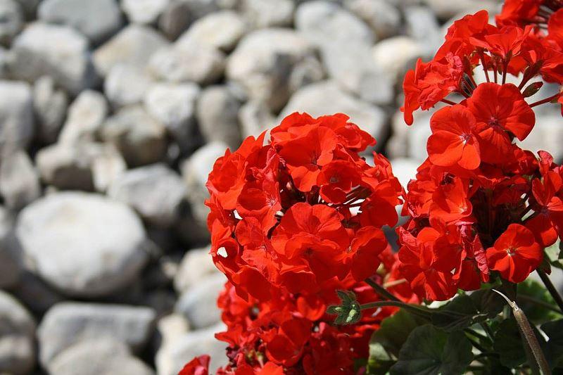 Byliny i kłącza kwiatów