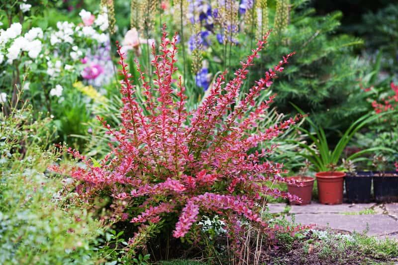 Berberys czerwony w ogrodzie