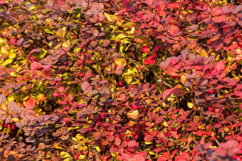 Czerwone liście berberysu w ogrodzie