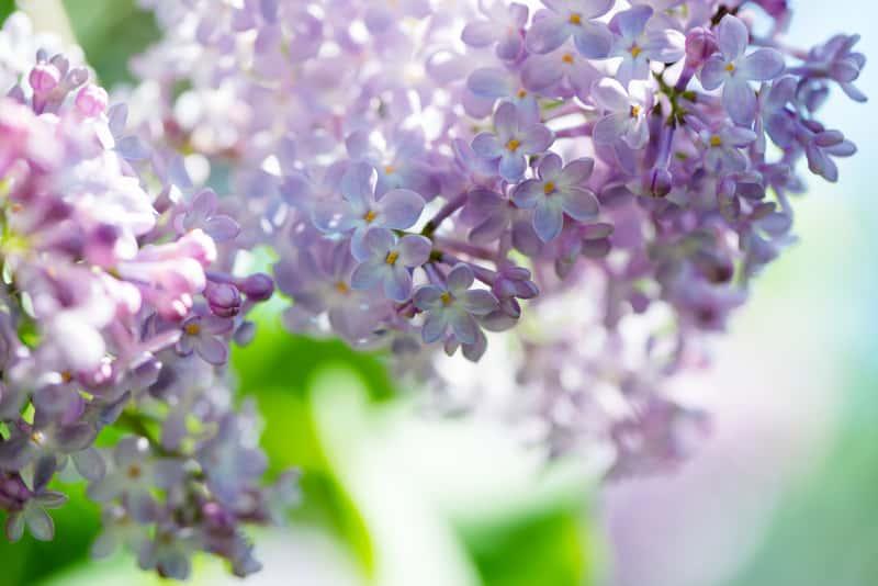 Lilak, czyli bez w okresie kwitnienia