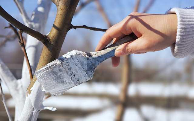 Bielenie drzew w ogrodzie krok po kroku - zrób to dobrze!