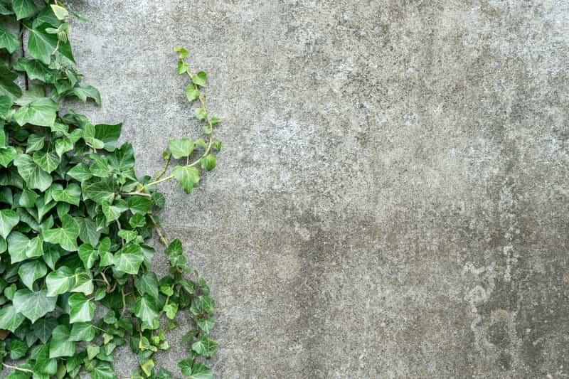 Bluszcz irlandzki (Hedera hibernica) - sadzenie, uprawa, pielęgnacja