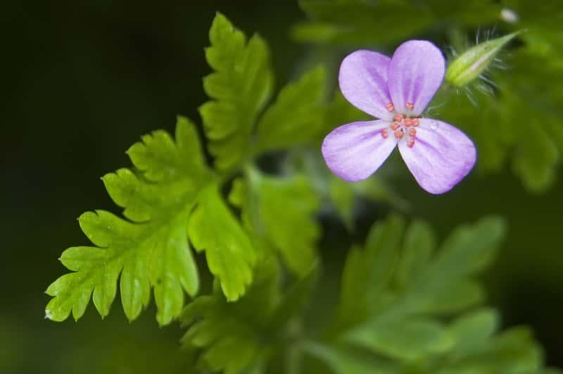 Bodziszek cuchnący w czasie kwitnienia