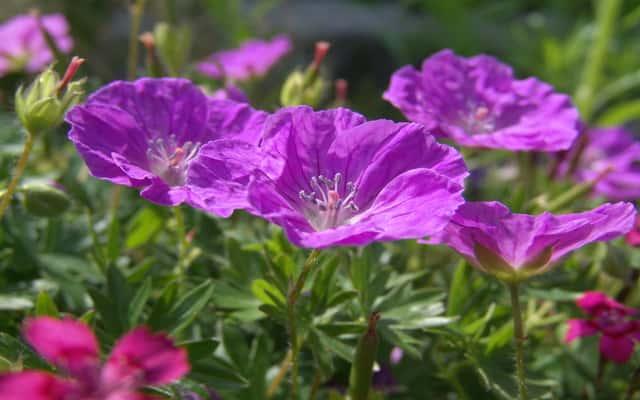Bodziszek czerwony w ogrodzie - odmiany, sadzonki, uprawa, rozstawa, wymagania