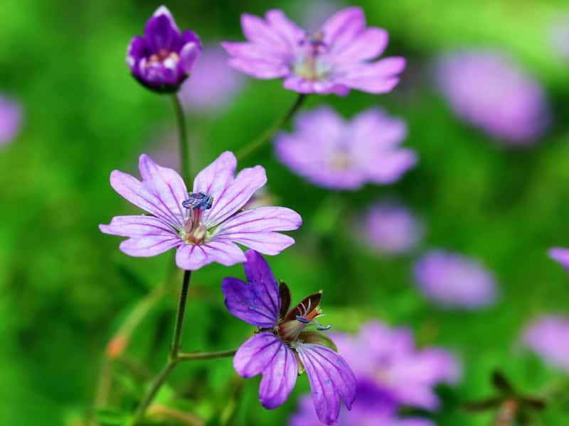 Bodziszek drobny w czasie kwitnienia