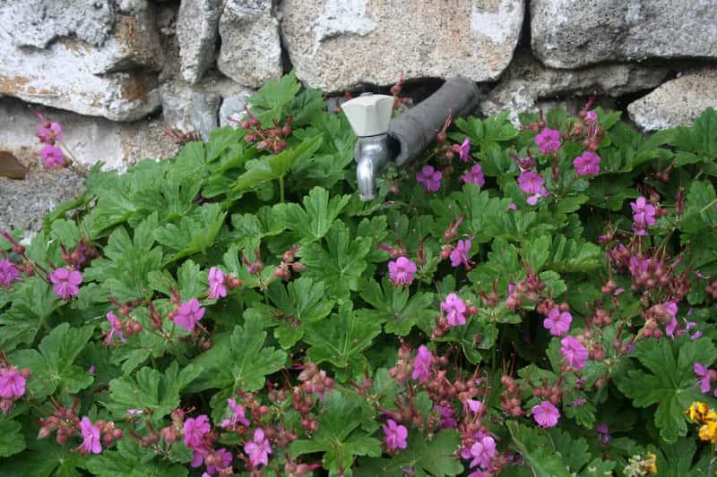 Bodziszek korzeniasty z kwiatami