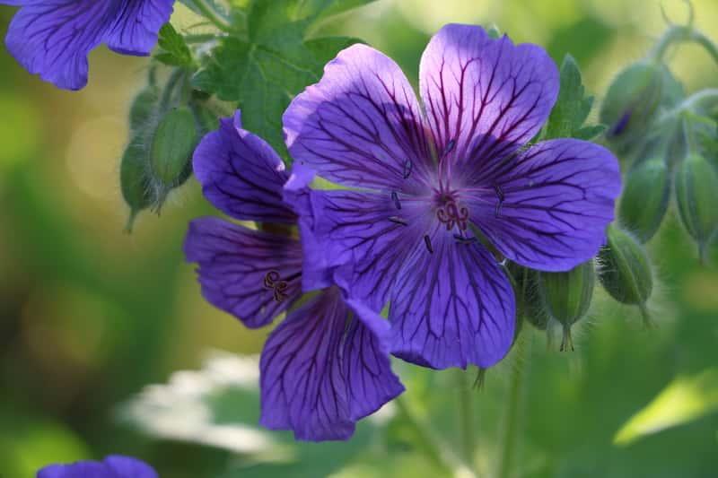 Niebieski kwiat bodziszka w ogrodzie
