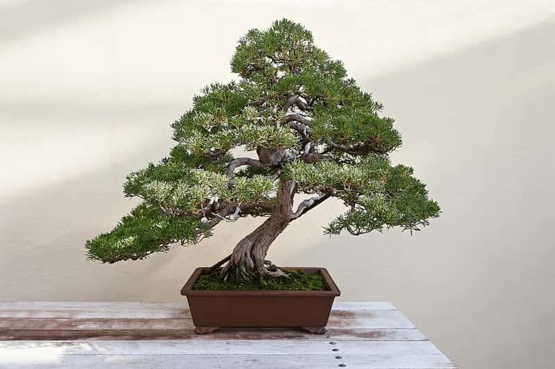 Jaka ziemia do bonsai będzie najlepsza? Wyjaśniamy krok po kroku