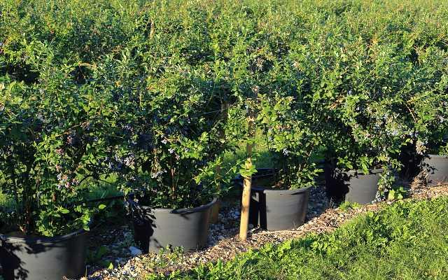 Borówka amerykańska – uprawa, odmiany, sadzenie, pielęgnacja, porady