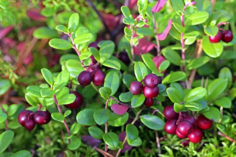 Czerwone owoce borówki brusznicy