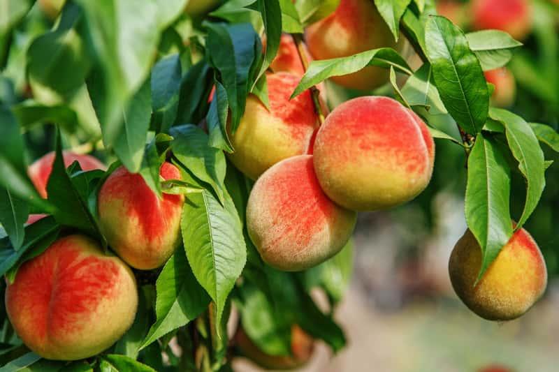 Dojrzałe owoce brzoskwini na drzewie