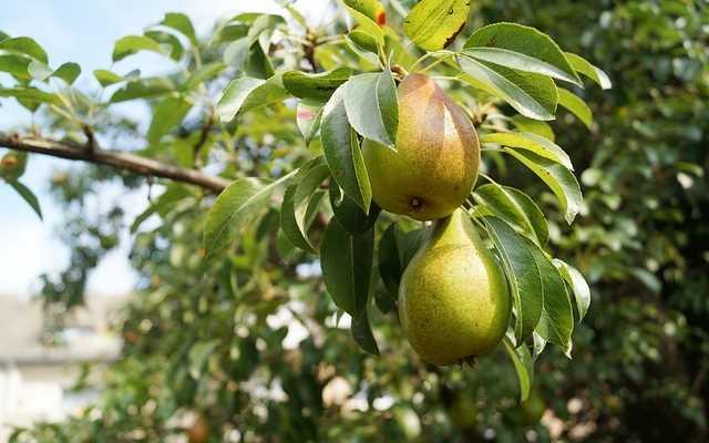 Z poradnika ogrodnika, czyli o nawożeniu drzew owocowych